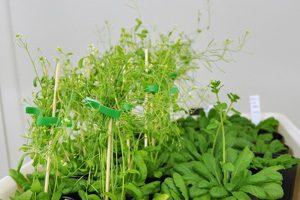 A345-植物遗传转化